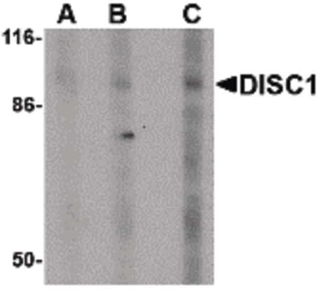DISC1 Antibody in Western Blot (WB)