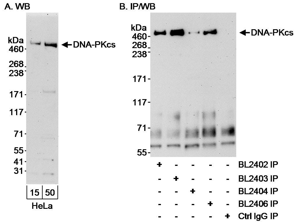 DNA-PKcs Antibody in Western Blot (WB)