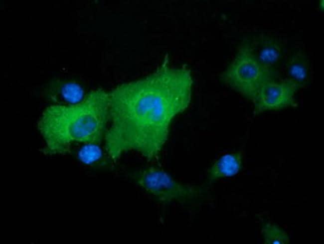 DNAJA2 Antibody in Immunocytochemistry (ICC/IF)