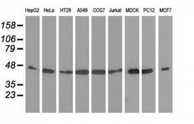 DNAJA2 Antibody in Western Blot (WB)