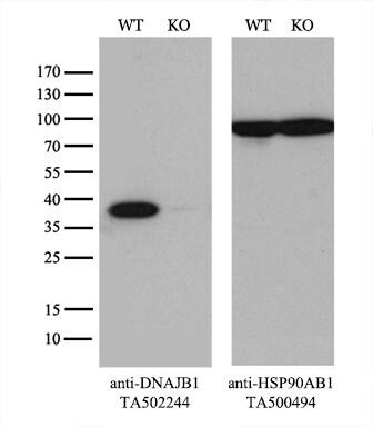 DNAJB1 Antibody in Knockout