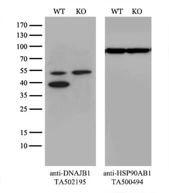 DNAJB1 Antibody in Western Blot (WB)