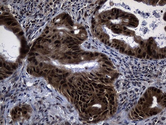 DNAJB6 Antibody in Immunohistochemistry (Paraffin) (IHC (P))