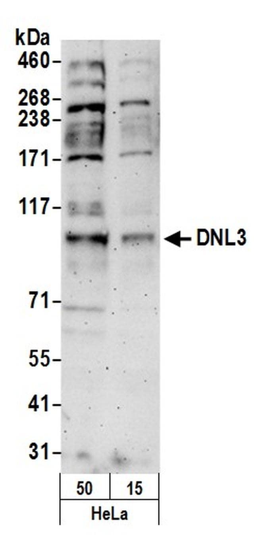 DNL3 Antibody in Western Blot (WB)