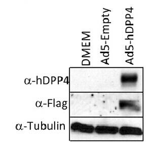 DPP4 Antibody in Western Blot (WB)