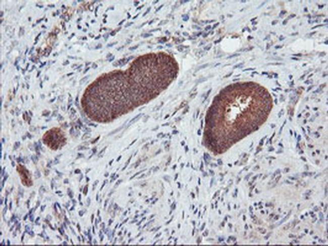 DPP9 Antibody in Immunohistochemistry (Paraffin) (IHC (P))