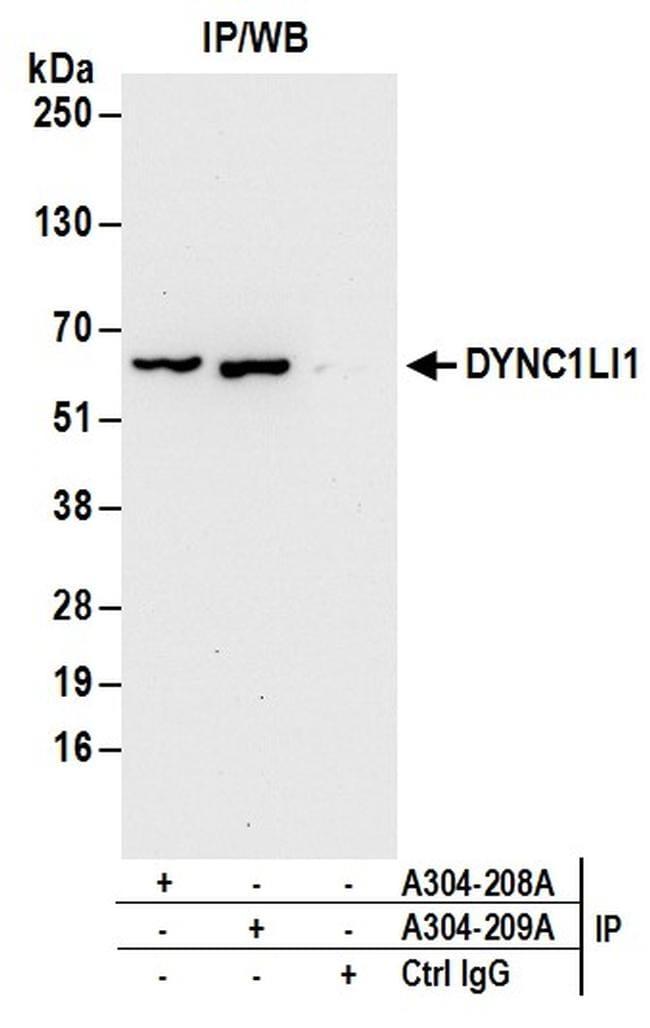 DYNC1LI1 Antibody in Immunoprecipitation (IP)