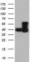 DYNC1LI1 Antibody in Western Blot (WB)