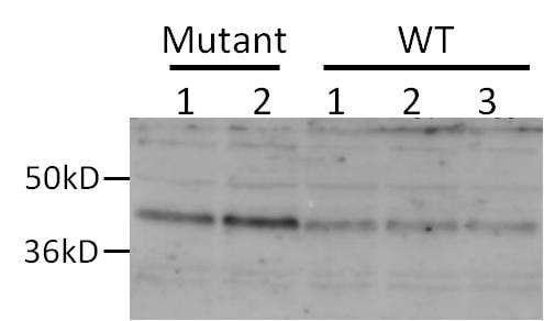 DEGS1 Antibody in Western Blot (WB)