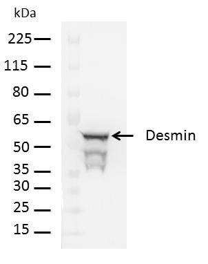Desmin Antibody in Western Blot (WB)