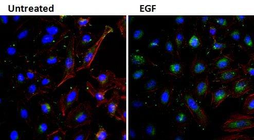 EGF Antibody in Immunofluorescence (IF)