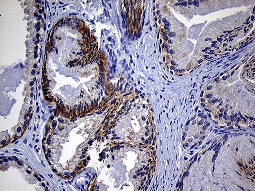 EGF Antibody in Immunohistochemistry (Paraffin) (IHC (P))
