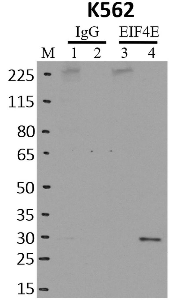 eIF4E Antibody in Immunoprecipitation (IP)