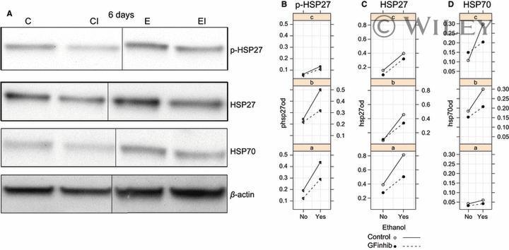 Phospho-HSP27 (Ser85) Antibody