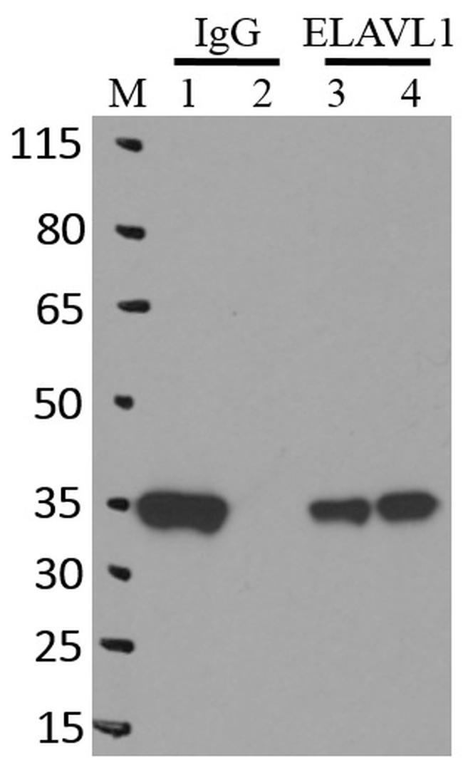 HuR Antibody in Immunoprecipitation (IP)