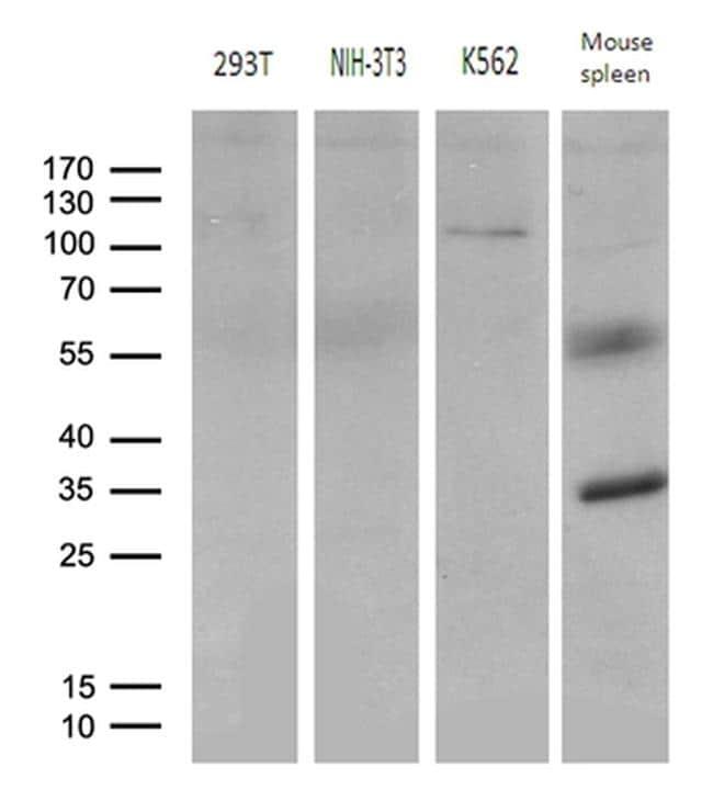 ELF4 Antibody in Western Blot (WB)