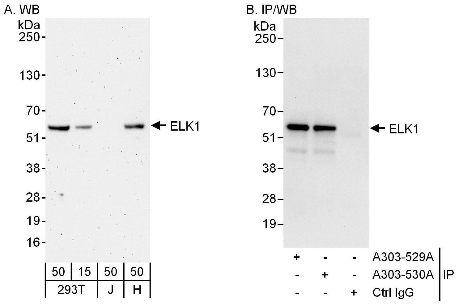 ELK1 Antibody in Western Blot (WB)