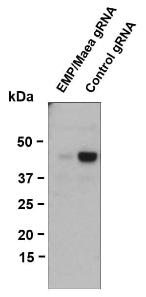 EMP Antibody in Western Blot (WB)