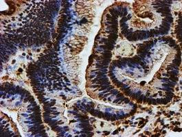 ENDOG Antibody in Immunohistochemistry (Paraffin) (IHC (P))