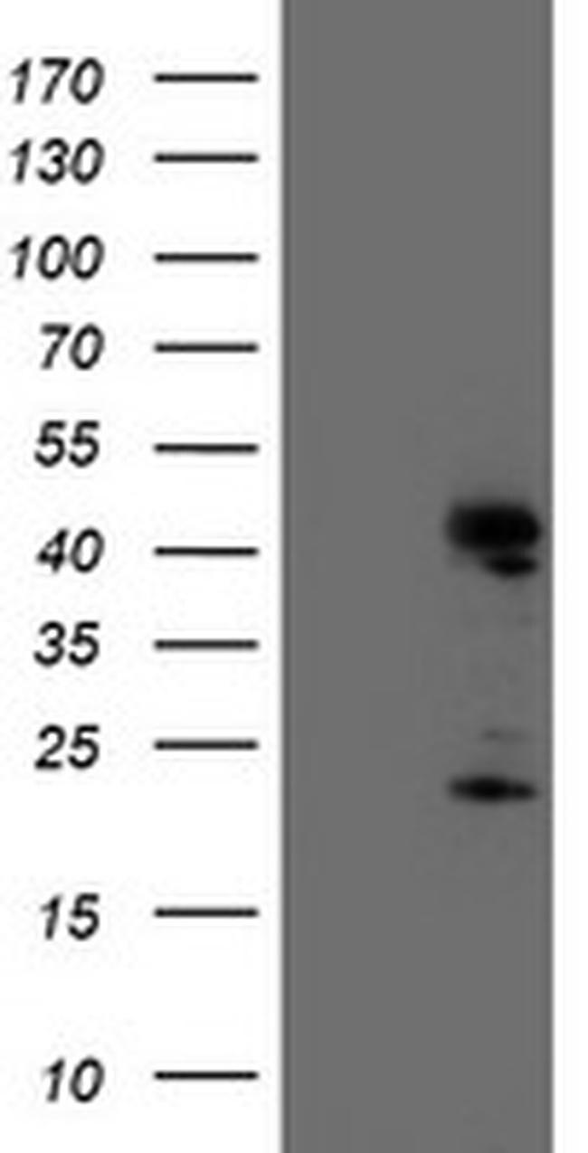 ENDOG Antibody in Western Blot (WB)