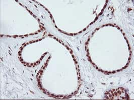 ENPEP Antibody in Immunohistochemistry (Paraffin) (IHC (P))