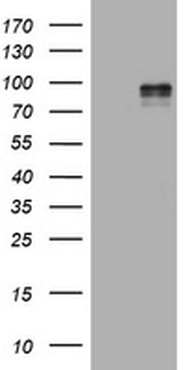 EPAS1 Antibody in Western Blot (WB)
