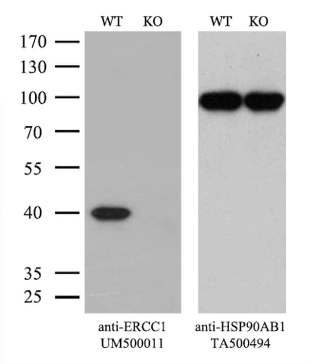 ERCC1 Antibody in Knockout