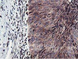 ERI1 Antibody in Immunohistochemistry (Paraffin) (IHC (P))