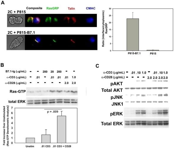ERK1/ERK2 Antibody