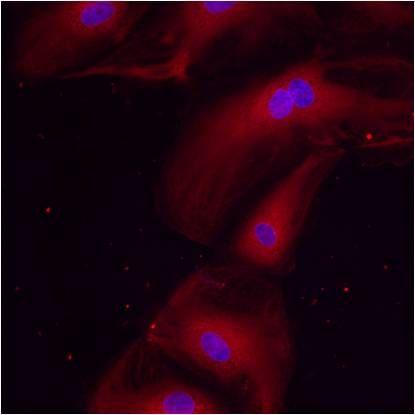 ERp57 Antibody in Immunofluorescence (IF)