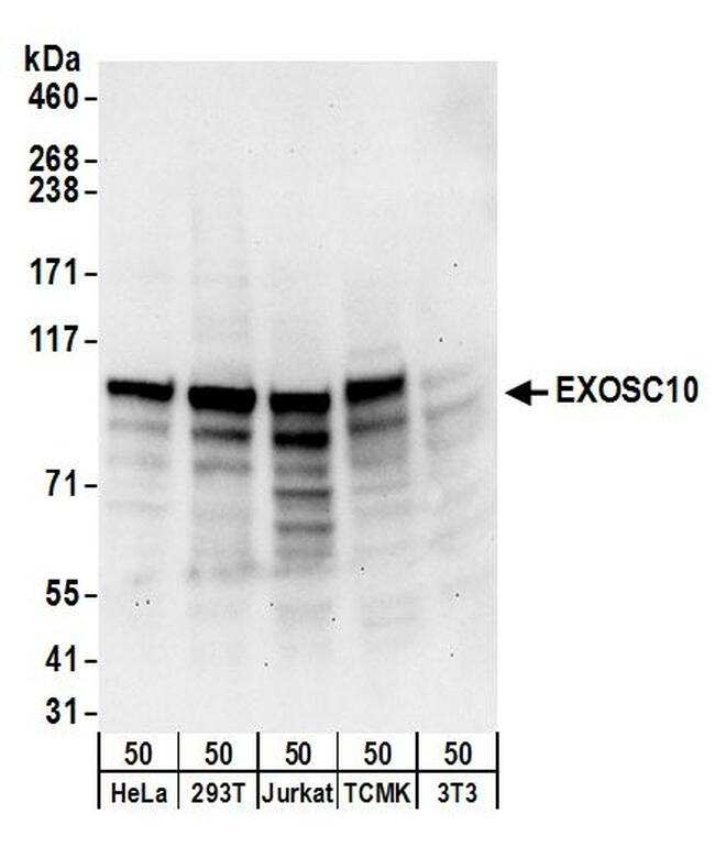 EXOSC10 Antibody in Western Blot (WB)