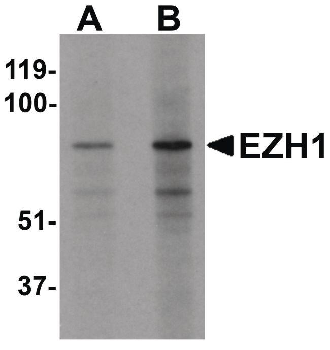 EZH1 Antibody in Western Blot (WB)