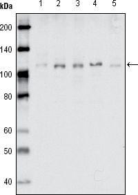 EphB1 Antibody in Western Blot (WB)
