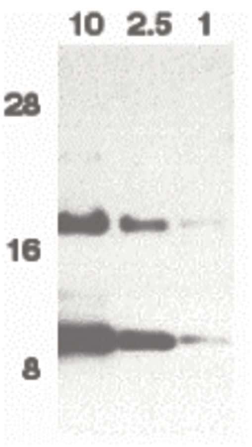 Eotaxin Antibody in Western Blot (WB)