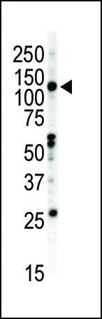 EphB2 Antibody in Western Blot (WB)