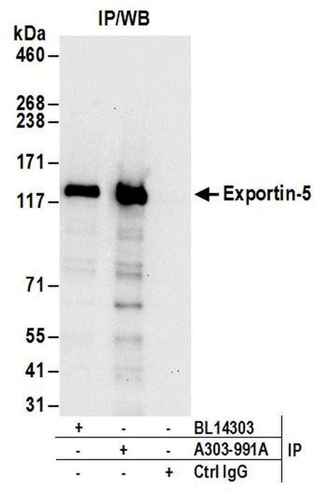 Exportin-5 Antibody in Western Blot (WB)