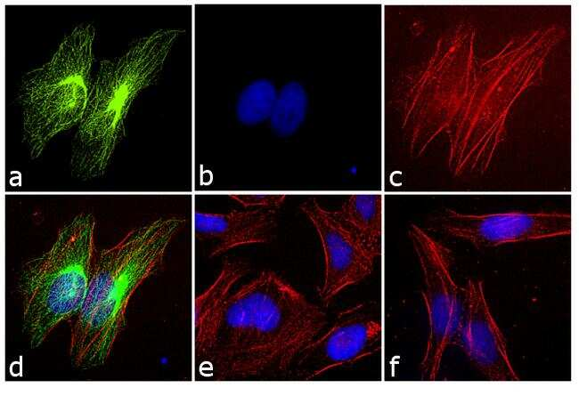 Rabbit IgG (H+L) Cross-Adsorbed Secondary Antibody in Immunofluorescence (IF)