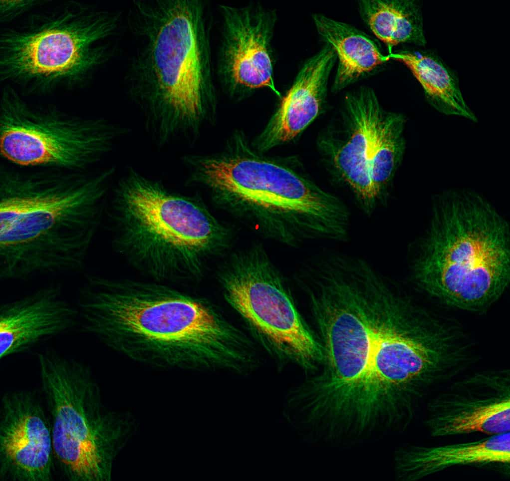 Mouse IgG (H+L) Cross-Adsorbed Secondary Antibody in Immunocytochemistry (ICC/IF)