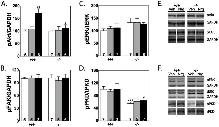 Phospho-FAK (Tyr861) Antibody