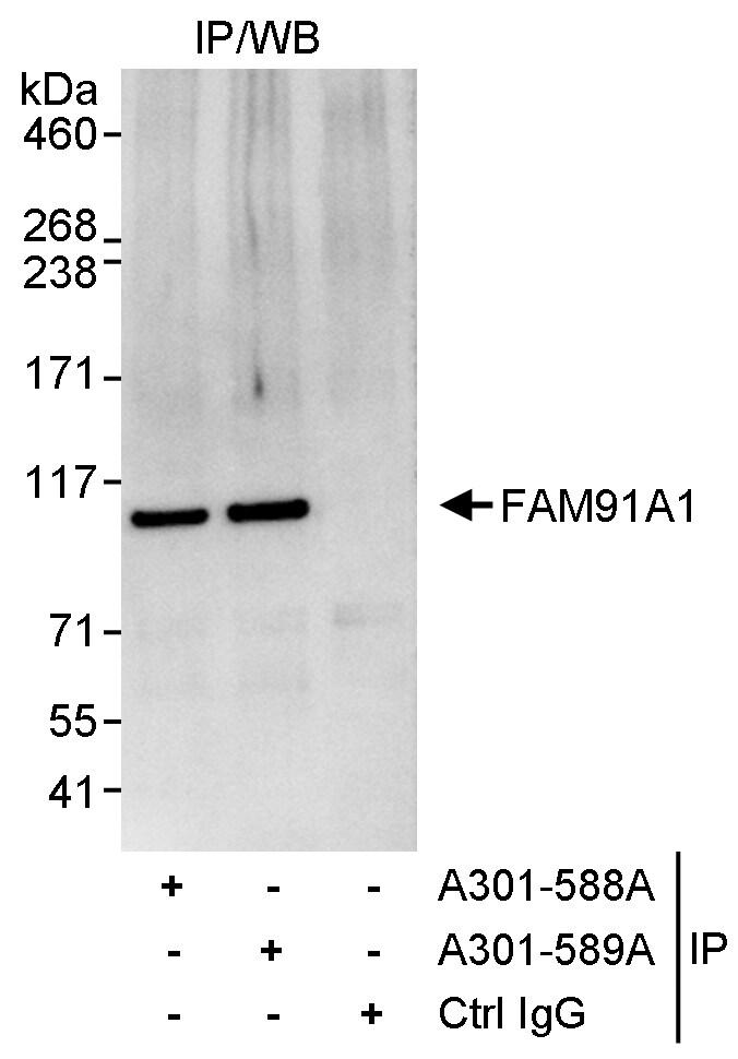 FAM91A1 Antibody in Immunoprecipitation (IP)