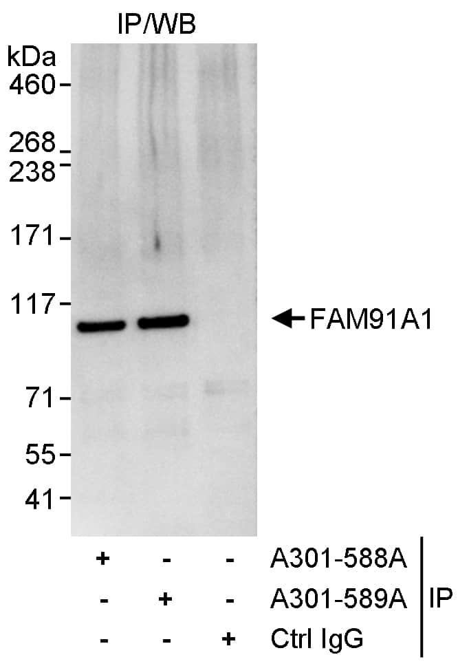 FAM91A1 Antibody in Immunoprecipitation (IP)