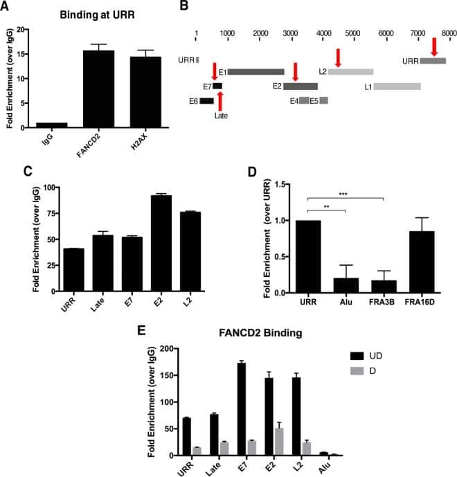 FANCD2 Antibody