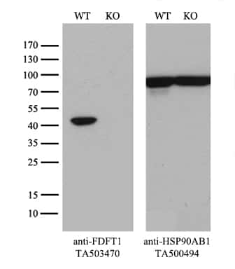 FDFT1 Antibody in Knockout