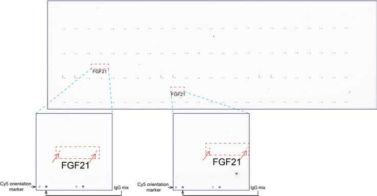 FGF21 Antibody in Peptide array (ARRAY)