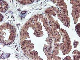 FGF21 Antibody in Immunohistochemistry (Paraffin) (IHC (P))