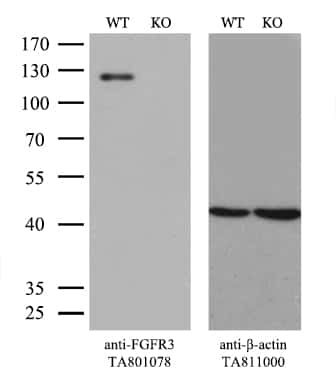 FGFR3 Antibody in Knockout