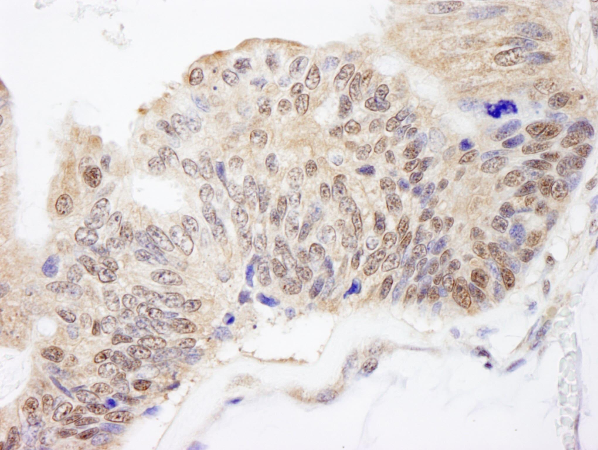 FKBP4/FKBP52 Antibody in Immunohistochemistry (IHC)