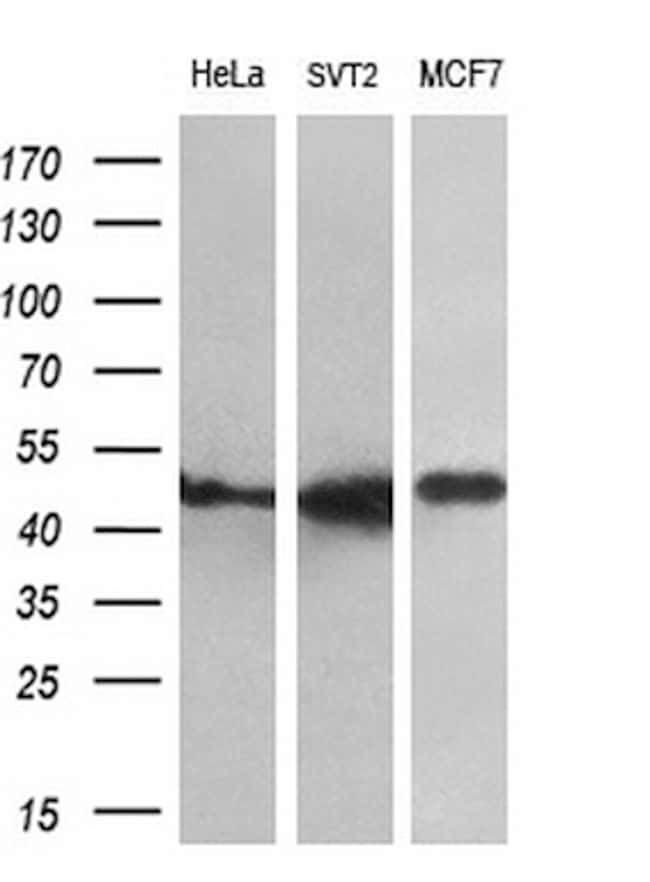 FKBP5 Antibody in Western Blot (WB)