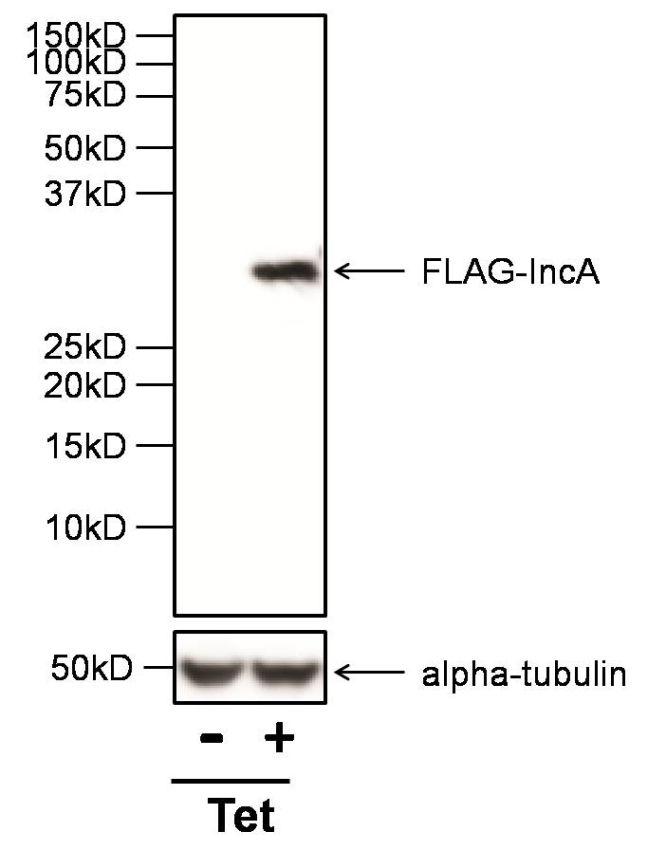 DYKDDDDK Tag Antibody in Western Blot (WB)