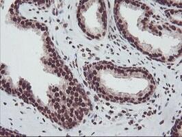FMR1 Antibody in Immunohistochemistry (Paraffin) (IHC (P))